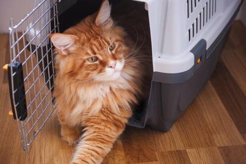 cat resting in plastic cat carrier