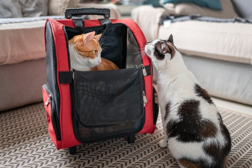 Cat getting ready to go traveling on a cat backpack carrier