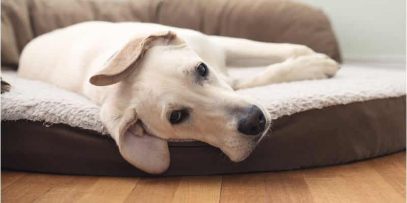 Best Orthopaedic Dog Bed