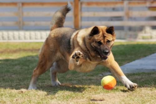 Dog catching ball