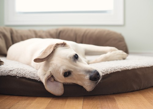 Orthopaedic dog bed which is great for dogs with joint issues or hip dysplasia