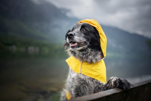 Dog Raincoat being tested on dog when hiking