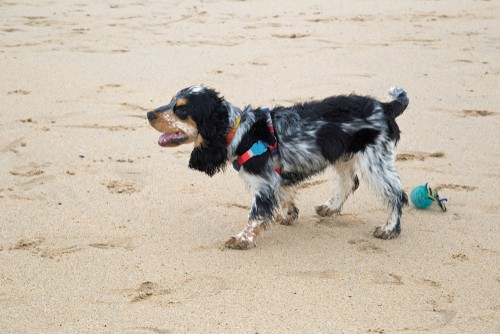 cocker spaniel on beach in harness which is multi use