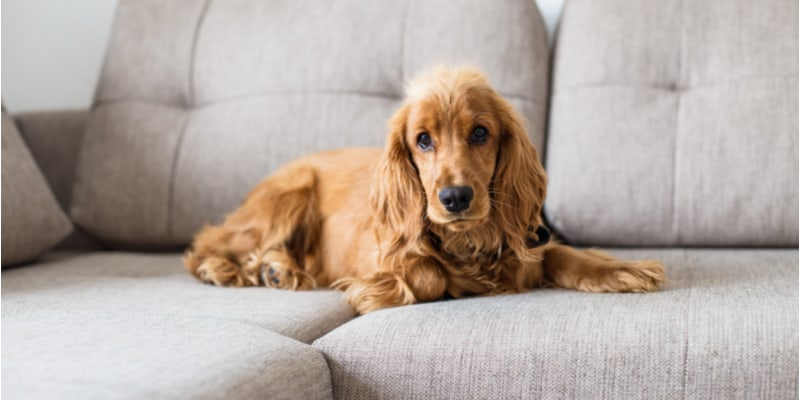 Can cocker spaniels be left alone