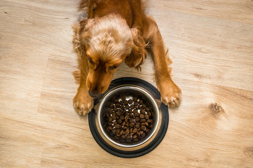 Cocker spaniel eating healthy food to promote healthy growth