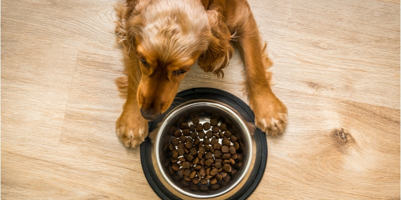 How Much Should You Feed Your Cocker Spaniel