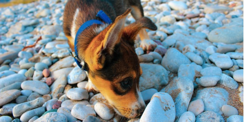 How to stop puppies from eating stones and why they do it in the first place