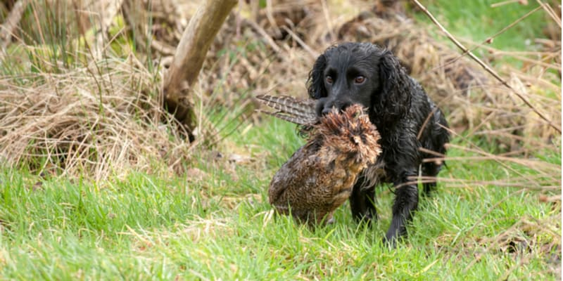 If you're considering a cocker spaniel for a family dog then you may be asking 'What is a working cocker spaniel?' Learn everything you need to know in this guide