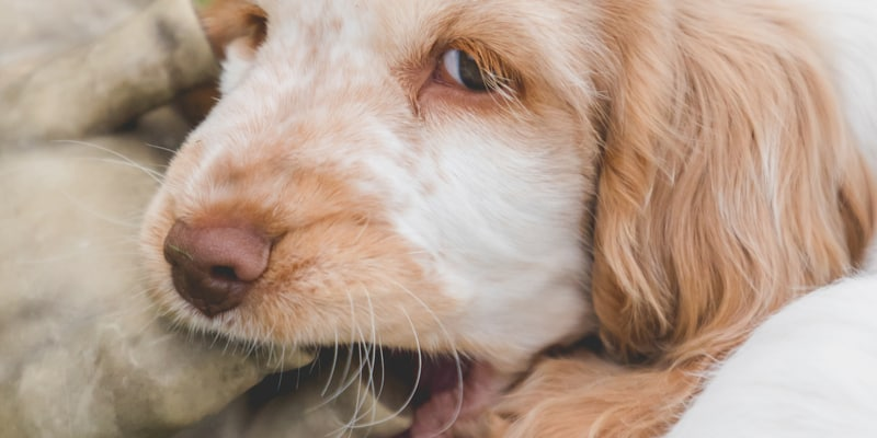 We discuss at what age do cocker spaniels stop chewing. There are a few things you can do to discourage chewing which we cover in this guide in detail.