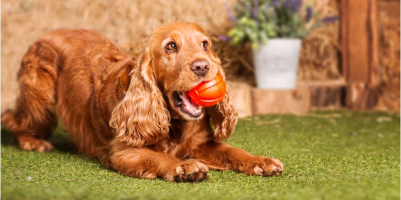 How Much Should a Cocker Spaniel Weigh? Well, this depends on whether they're an English or American cocker spaniel, their age, health and more.