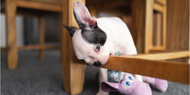 In this guide, I talk about how to stop a dog from chewing on wood but first, you need to find the cause which could be teething, Separation anxiety and loneliness.