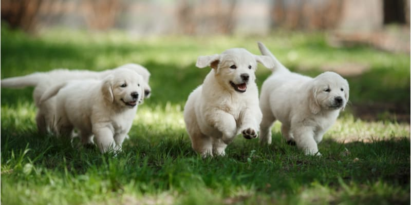 So if you searched when do puppies start walking? I'm guessing your puppy isn't walking yet. Usually, it takes around 4 weeks, maybe 5. Learn more about it now