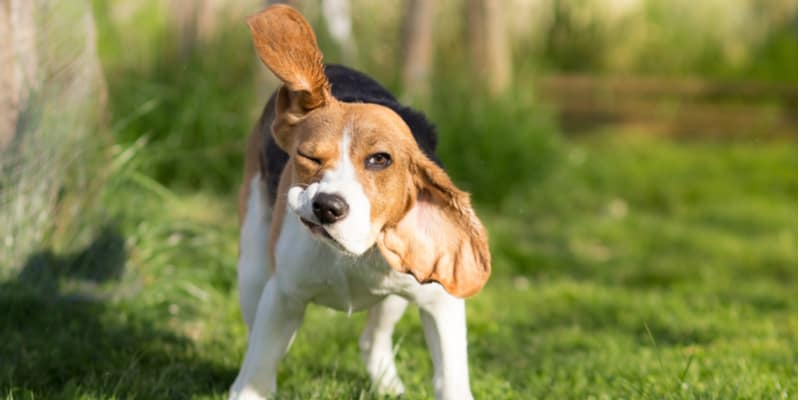 So is your dog shaking its head more than usual? in this guide, I talk about Why your Dog might Keep Shaking Its Head and how to deal with it.